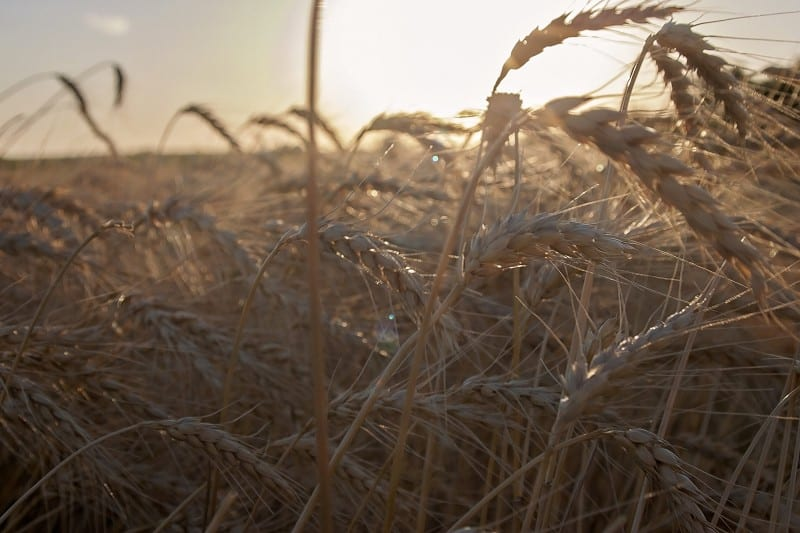 wheat stalks used to decorate your wedding